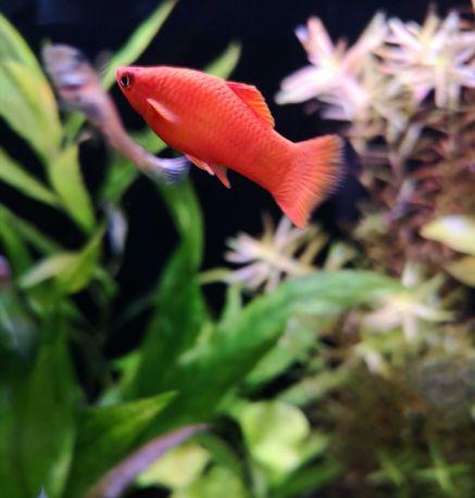 Mieczyk Czerwony samiec