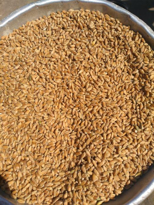 Продам пшеницю 2020 Водяное - изображение 1