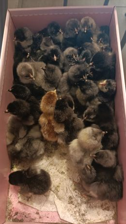 Kurczaki od Olbrzymich Kur