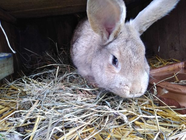 Sprzedam króliki samce !!