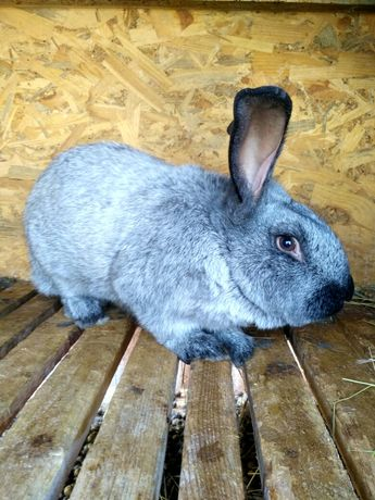 """Продам кролей """" Полтавское серебро"""""""