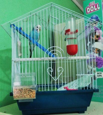 Попугай хвилястий