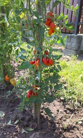 Speckled Roman - kanadyjski - Pomidory - Nasiona odporne na choroby