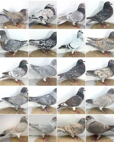 Gołębie pocztowe w unikalnych barwach