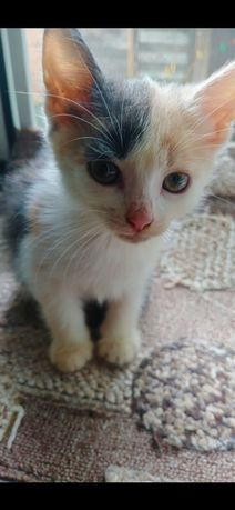 Кошечка трехмастная