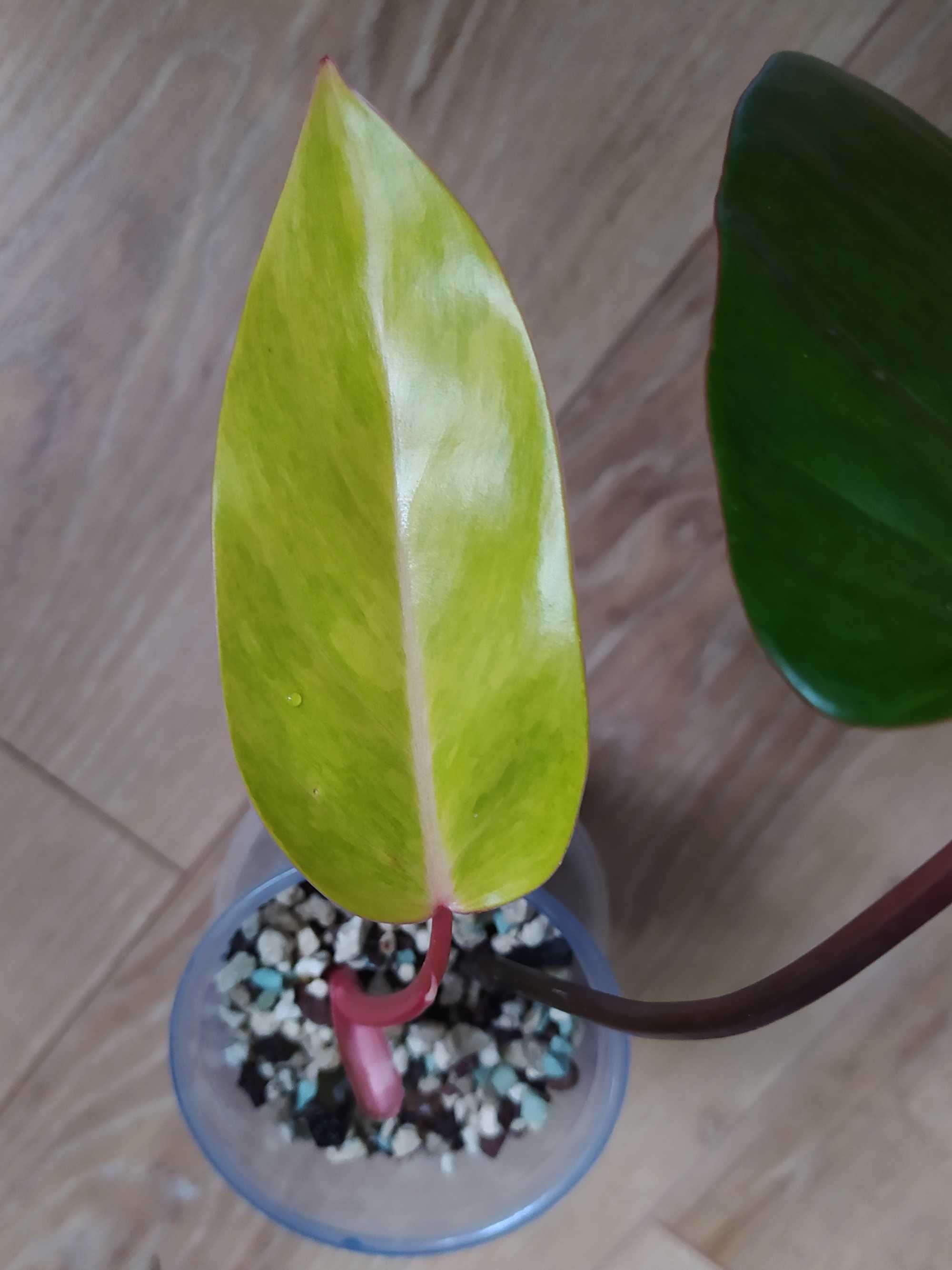Philodendron painted lady, ukorzeniony, z aktywnym stożkiem wzrostu