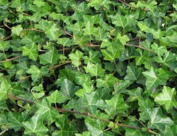 Плющ вечнозелёный, черенки с корнем(ветки)