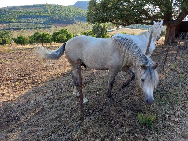 Cavalo com 2 anos