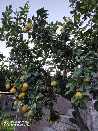 Limões biológicos.