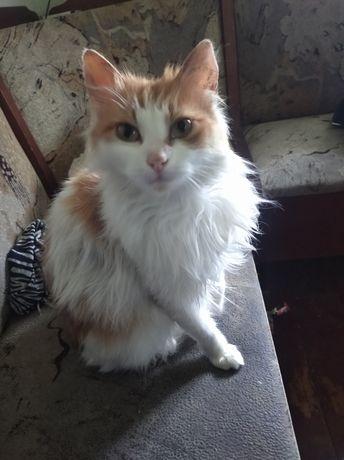 Кішка-2 роки, порода-Турецький Ван. 100 грн.