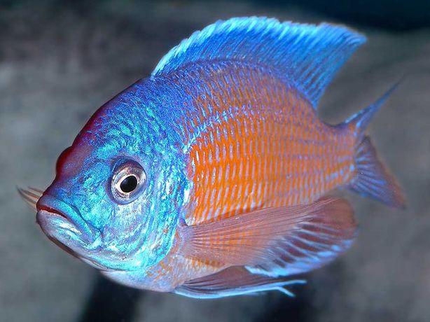 rybki pyszczaki malawi Copadichromis borleyi