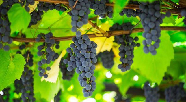 Продам виноград синій