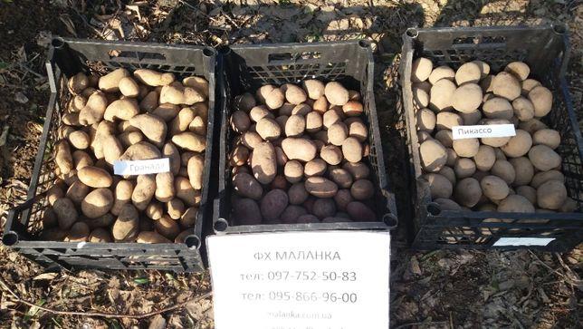 Семенной картофель элитных сортов. Отправляем почтой от 5 кг