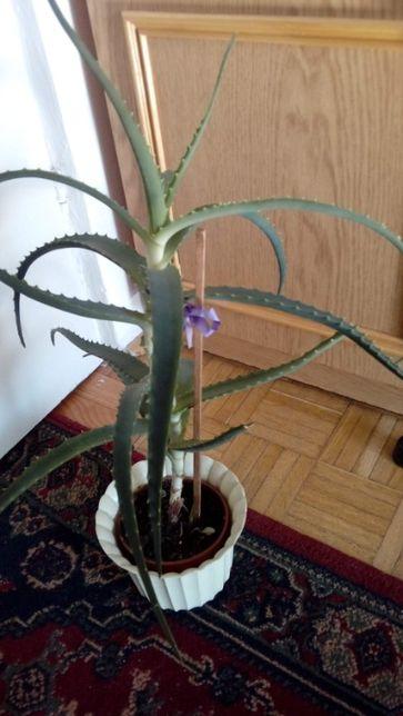 Aloes kwiat doniczkowy dekoracyjny i zdrowotny.