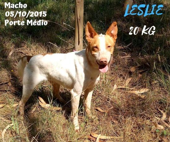 Cão Porte Médio (20kg) Para Adoção (Leslie)