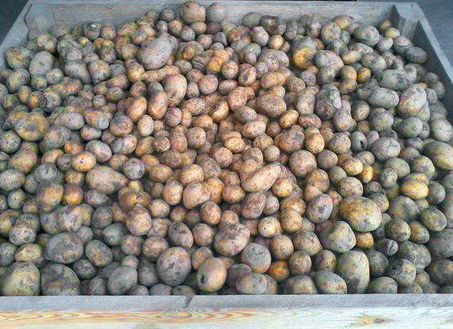 ziemniaki paszowe Niesort. 0.30gr / kg