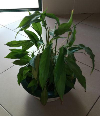 Planta com vaso em plástico