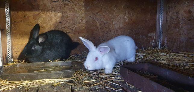 Кролики молодые на племя или вкусные тушки