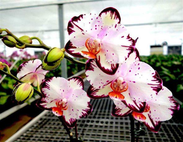 Сортовые орхидеи