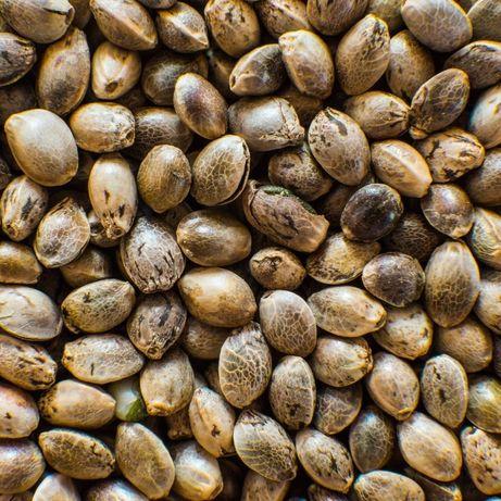 Nasiona konopi włóknistej – Santhica 70 – certyfikowane - CBG
