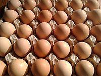 XR Rainbow (Веселка) інкубаційне яйце