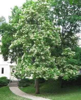 Катальпа. Дерево медонос. Семена для посадки. 1000 штук