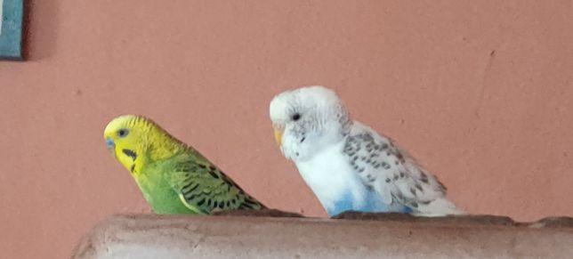 Хвилясті папуги пара
