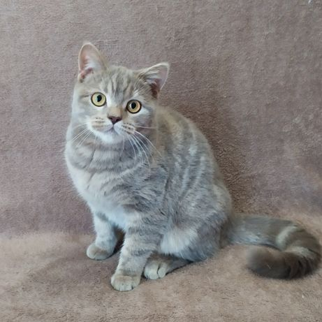 Шотландская мраморная кошечка, котята