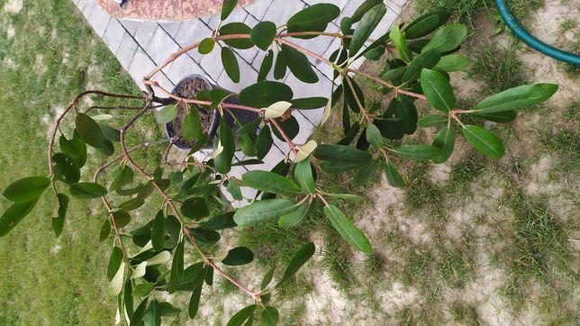 Rododedendrony trzy sadzonki