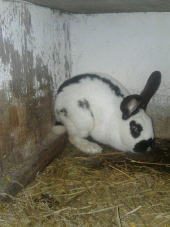 Кроль кролики вязка