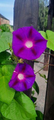 Kwiat Wilec-nasiona