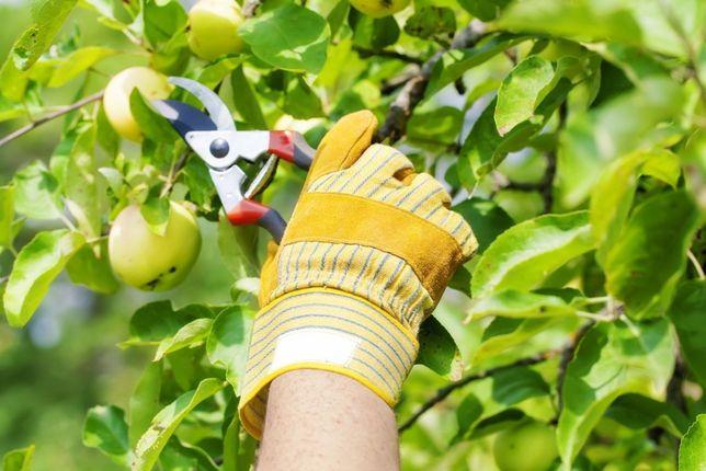 Профессиональная обрезка деревьев, кустарников, винограда.Скидки!