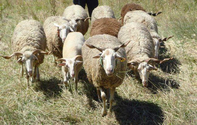 ovelhas bordaleiras e uma mocha
