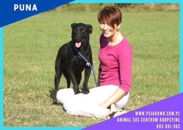 PUNEK - świetny, czarny pies w typie labka szuka domu