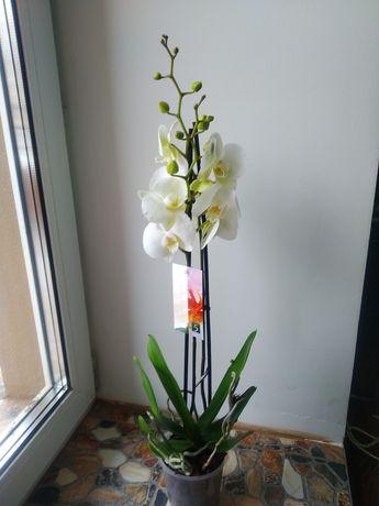 Орхідея Фаленопсис, 2 ст - 350