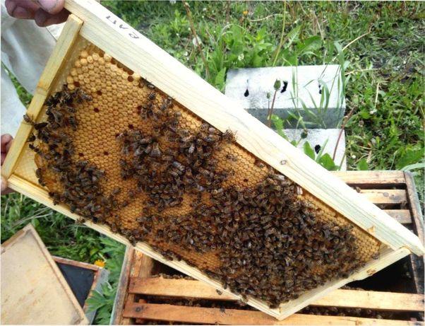 Бджоломатка - Матки пчел - Плодная Карпатка Снижение цен