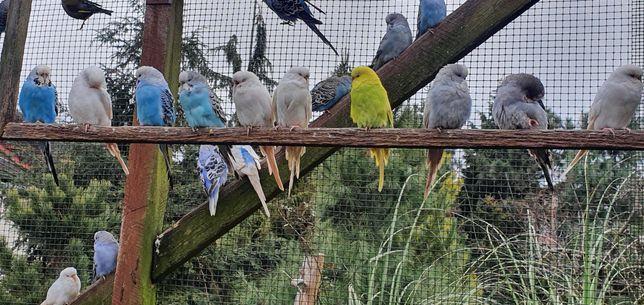 Sprzedsm papużki faliste