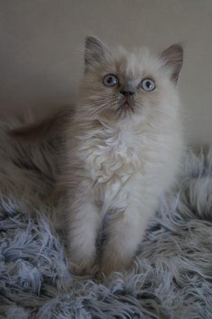 Koty kotki brytyjskie