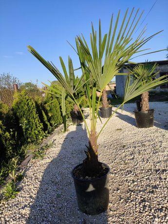 Mrozoodporna palma Trachycarpus Fortunei pień 20-30 cm