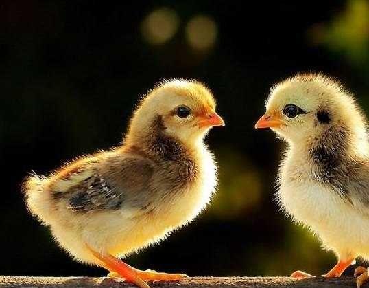 Инкубационные яйца Мясо-яичного направления МастерГрей, Доминант