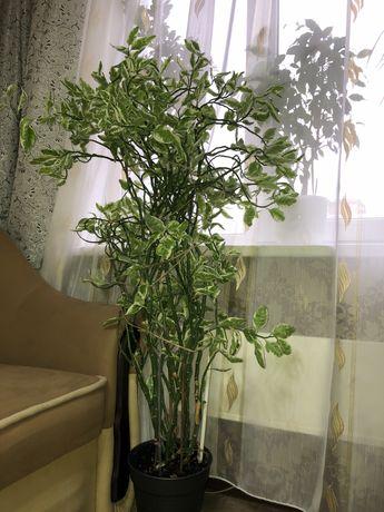 Педилантус. Вазон, комнатное растение.