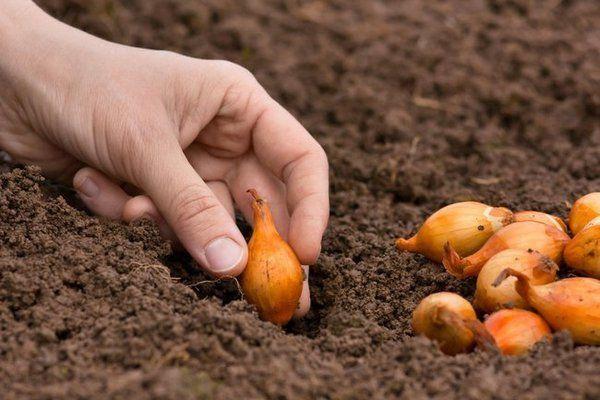 Продам насіння цибулі.Цибуля на посадку.
