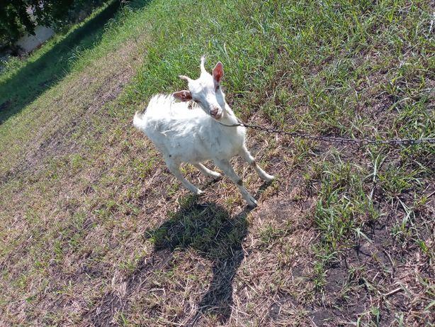 Продам любимых дойных коз