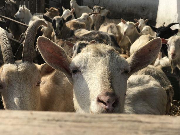 Кози заанські,ламанчі