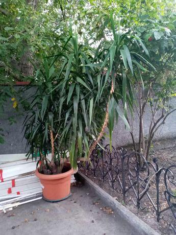 Декоративное дерево Юкка