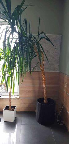 Juka roślina doniczkowa 180 cm