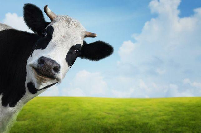 Продається 1-на корова з двох на вибір або телиця!