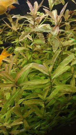 Rośliny dla akwarysty, duży pakiet różnych, gupiki