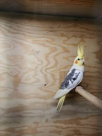 Papuga Nimfa samiec