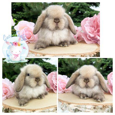 Kroliczek królik karzełek Teddy i mini lop